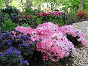 Rhododendron in verschiedenen Farben