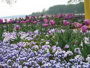 Tulpenwiese auf der Bundesgartenschau 2009