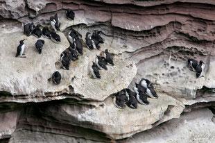 shetland,ile de noss,oiseaux
