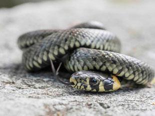 Ringelnatter, Schlangen, Reptil, Reptilien,