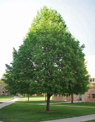 Tilia cordata (tilleul à petites feuilles)