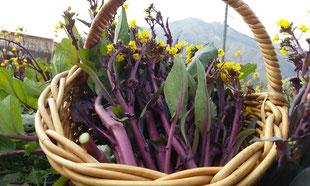 紅菜苔(紫つみな)