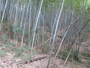 整備前の竹林