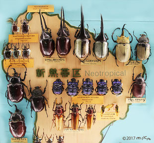 熱帯地区のカブトムシ等