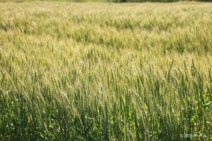 緑の麦畑(別ページに移動します)