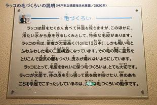 ラッコの毛づくろいの説明(神戸市立須磨海浜水族園)