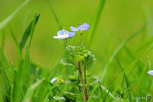 ネモフィラに似た花 オオイヌノフグリ