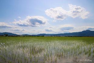 麦の収穫時は関西は田植えの季節です(別ページに移動します)