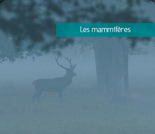 Galerie de photos de mammifères de Sologne et d'ailleurs - Alexandre Roubalay photo nature - www.acadiaudimages.fr - brame du cerf