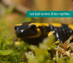 Galerie de photos de batraciens et reptiles de Sologne et d'ailleurs - Alexandre Roubalay photo nature - www.acadiaudimages.fr - salamandre