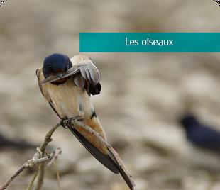 Galerie de photos d'oiseaux de Sologne et d'ailleurs - Alexandre Roubalay photo nature - www.acadiaudimages.fr