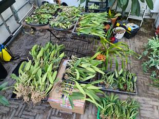 Orchideen-Import aus Brasilien - Cattleya