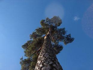 Pinus sylvestris in Johanneshov in spring - 2008- by Leo Johannes - Domaine public