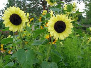 Sonnenblumen LaGa Winsen