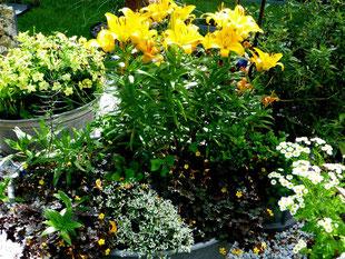 Zinkwanne mit Lilien, Klee, Mutterkraut, Nachtkerze