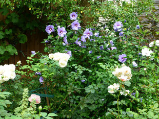 Pastellfarbene Rosen vor blauer Hibiskushecke