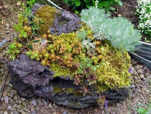 Lavastein, bepflanzt mit Steingartengewächsen