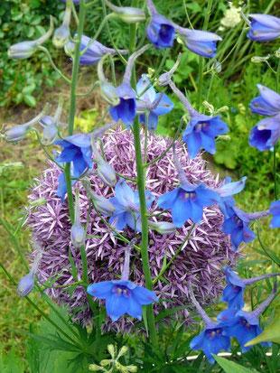 """Allium """"Globemaster"""" und Rittersporn"""
