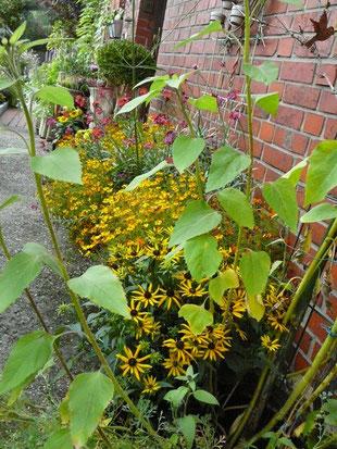 Sonnenhut, Sternchen-Tagetes, Sonnenblumen