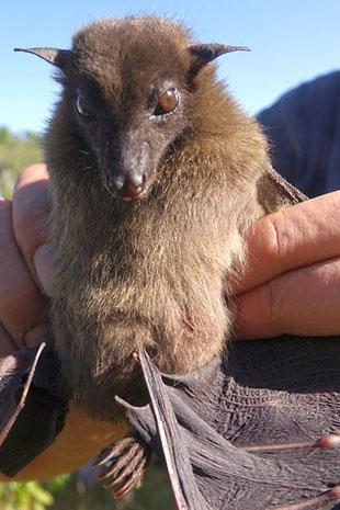 Rossetto lanoso (Rousettus lanosus)