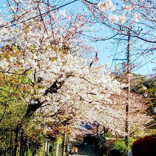 鎌倉 浄妙寺 桜