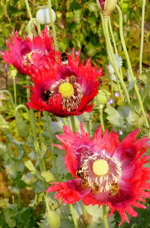 Mohn, Bienen, rot, leuchtend, grün