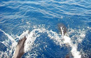 Streifendelfine in Meeresschutzgebiet bei Monaco