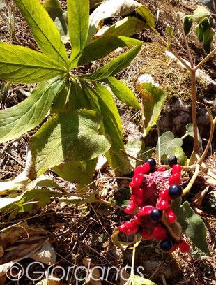 Korallen Pfingstrose Fruchtstand-Paeonia mascula ssp. hellenica
