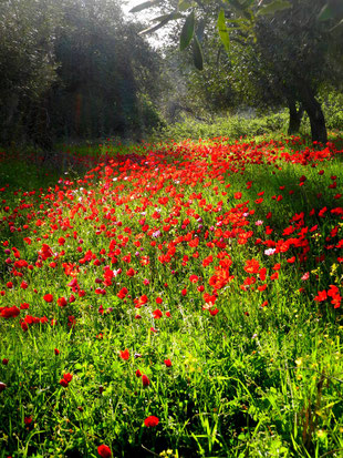 Klatschmohn und Anemonen Feld im Frühling