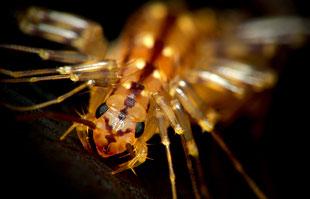 Scutigera coleoptrata-Der Spinnenläufer