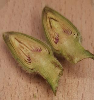 Längsschnitt einer Magnolienblüte