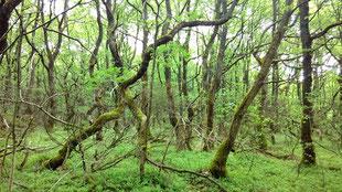 Eichen im Stenholt Skov