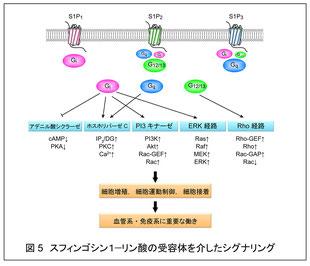 スフィンゴシン1-リン酸の受容体を介したシグナリング