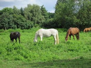 Die Pferde genießen das saftige Grün.