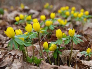 Weitere Frühlingsblüher