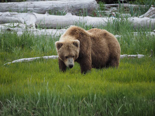 Natuurlijke bewoner van Katmai, de Grizzly Beer