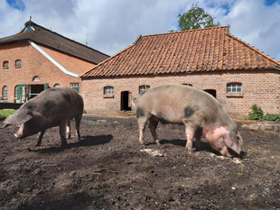 Schweine des NABU Woldenhofs