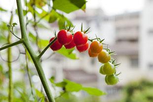 緑、黄色、オレンジ、赤の綺麗なグラデーションを見せる、茎に実ったミニトマト