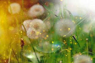 Weiße Pustblumen im grünen Gras, umgeben von funkelnden gelben Lichtpünktchen.