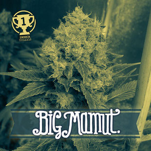 variedad marihuana big mamut