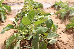 Kartoffeln am Sirba bei Bilanga