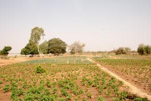Kartoffel-Feld