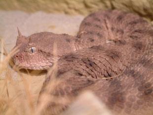 Cerastes c. cerastes - female -