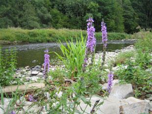 Nach der der Niederlegung des Staus Ohl-Grünscheid im September 2019 hat das Winterhochwasser eine herrliche Flusslandschaft geformt.  (ef)Aber es droht droht die Wiederauffüllung des Staus, wenn die marode Wehrklappe in 2021 ersetzt wird!