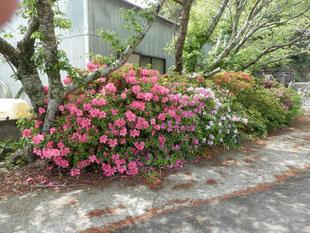 加工場の近くの桜並木の下のさつき。