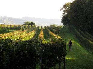 die Weinstöcke noch voll mit Reben