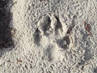 Großer Schweizer Sennenhund Hetty hat ihren Fußabdruck im Sand am Strand hinterlassen