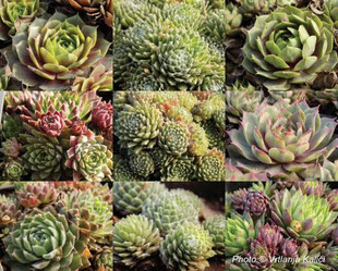 čuvarkuća, sempervivum, kamenjar, rock garden, suho, suša, sunce