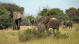 Elefanten, wohin das Auge reicht und das im Mahango Game Park