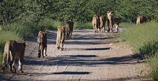 Die Löwenfamilie auf dem Weg zum Znacht